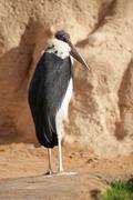 Marabou Stork - Leptoptilos crumeniferus Stock Photos