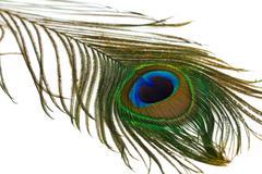 beautiful peacock feather - stock photo