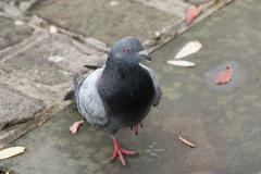 Rock Pigeon - Columba livia Stock Photos