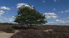 Wind blowing across heathland and solitary oak tree Stock Footage