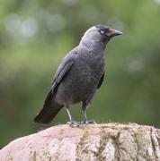 Jackdaw - Corvus monedula - stock photo