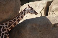 Baringo Giraffe - Giraffa camelopardalis rothschildii Stock Photos