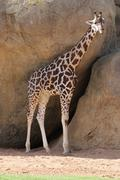 Baringo Giraffe - Giraffa camelopardalis rothschildii - stock photo