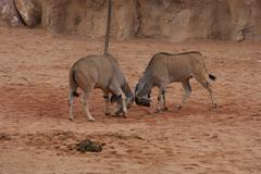 Waterbuck - Kobus ellipsiprymnus Stock Photos