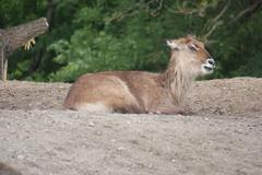 Defassa Waterbuck - Kobus ellipsiprymnus defassa Stock Photos