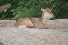 Stock Photo of Defassa Waterbuck - Kobus ellipsiprymnus defassa