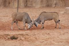 Waterbuck - Kobus ellipsiprymnus - stock photo
