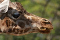 Giraffe - Giraffa camelopardalis - stock photo
