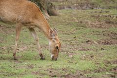 Brow-antlered Deer - Panolia eldii Stock Photos