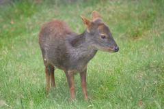 Stock Photo of Chilean Pudu - Pudu puda