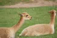 Stock Photo of Vicuna - Vicugna vicugna