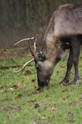 Reindeer - Rangifer tarandus Stock Photos