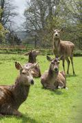 Fallow Deer - Dama dama - stock photo