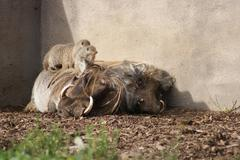 African Warthog - Phacochoerus africanus - stock photo