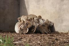 African Warthog - Phacochoerus africanus Stock Photos