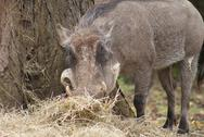 Stock Photo of Warthog - Phacochoerus africanus