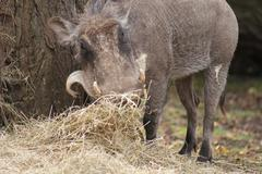 Warthog - Phacochoerus africanus - stock photo