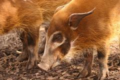 Red River Hog - Potamochoerus porcus Stock Photos