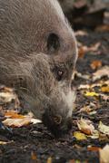 Sus barbatus - Bearded Pig Stock Photos