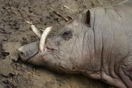 Stock Photo of Buru Babirusa - Babyrousa babyrussa
