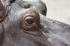 Hippopotamus - Hippopotamus amphibius Stock Photos