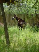 Stock Photo of Okapi - Okapia johnstoni