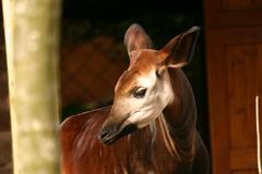 Okapi - Okapia johnstoni - stock photo