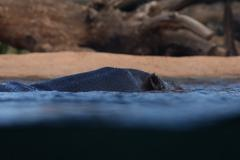 Hippopotamus - Hippopotamus amphibius - stock photo