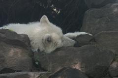 Alaskan Tundra Wolf - Canis lupus tundrarum Stock Photos