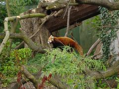 Red Panda - Ailurus fulgens - stock photo