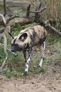 African Hunting Dog - Lycaon pictus - stock photo