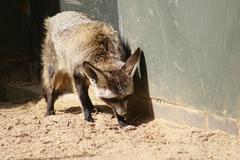 Bat-eared Fox - Otocyon megalotis Stock Photos