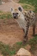 Spotted (laughing) Hyena - Crocuta crocuta - stock photo