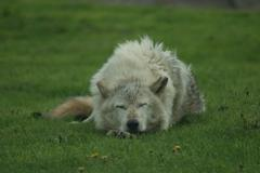Canadian Timber Wolf - Canis lycaon - stock photo