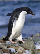 Adelie penguin walking on the rocks Stock Photos