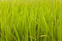 Rice plant in rice field, Hong Kong. Stock Photos