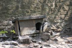 Humboldt Penguin - Spheniscus humboldti Stock Photos