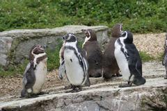 Humboldt Penguin - Spheniscus humboldti - stock photo