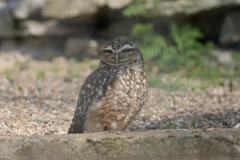 Burrowing Owl - Athene cunicularia Stock Photos