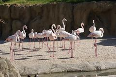 Greater Flamingo - Phoenicopterus antiquorum - stock photo
