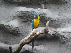 Blue-throated Macaw - Ara glaucogularis - stock photo