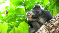 Mother monkey and baby monkey on tree Stock Footage