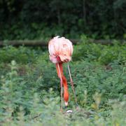 American Flamingo - Phoenicopterus ruber - stock photo