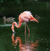 American Flamingo - Phoenicopterus ruber Stock Photos