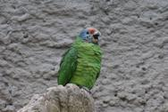 Stock Photo of Red-tailed Amazon - Amazona brasiliensis