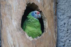 Stock Photo of Red-tailed Amazon - Amazona brasiliensis