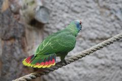 Red-tailed Amazon - Amazona brasiliensis - stock photo