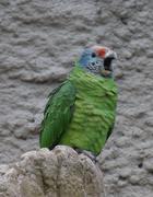 Red-tailed Amazon - Amazona brasiliensis Stock Photos