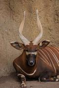 Eastern Bongo - Tragelaphus eurycerus isaaci Stock Photos