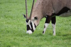 Gemsbok - Oryx gazella - stock photo